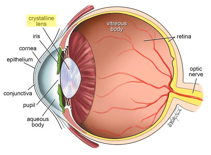 parts of the eye with lens highlighted – boydvision, Human Body